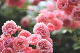 ピンク薔薇の写真・画像素材[1917256]