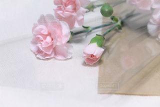 ピンク色のカーネーションの写真・画像素材[2006078]