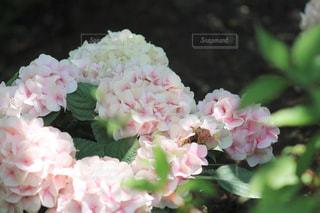 木漏れ日の中の紫陽花の写真・画像素材[2014408]