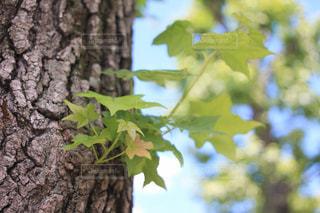 木の幹の新芽の写真・画像素材[2033008]