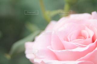 ローズピンクの写真・画像素材[2038182]