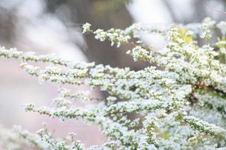 咲き誇る雪柳の写真・画像素材[2038184]