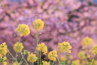 菜の花と河津桜の写真・画像素材[2046893]