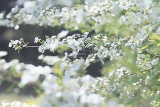 ユキヤナギの写真・画像素材[2055769]