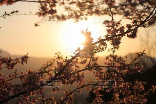 夕焼けと桜の写真・画像素材[2058776]