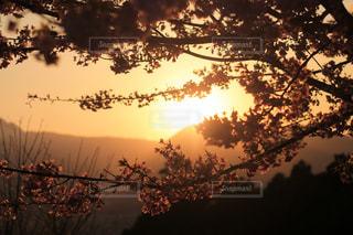 桜の花と夕焼けの写真・画像素材[2058778]