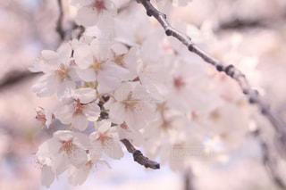 桜の花の写真・画像素材[2059270]