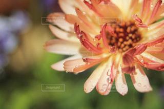 雨粒と花びらの写真・画像素材[2059643]