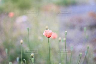 凛と咲くの写真・画像素材[2059785]