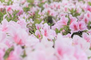 ツツジの花の写真・画像素材[2060253]