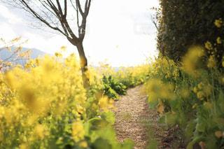 菜の花に囲まれての写真・画像素材[2065078]