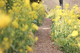 菜の花の中をの写真・画像素材[2065081]