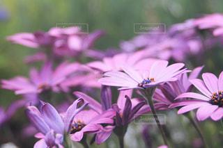 紫の花の写真・画像素材[2065083]