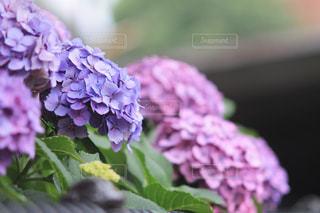 紫陽花の写真・画像素材[2067688]