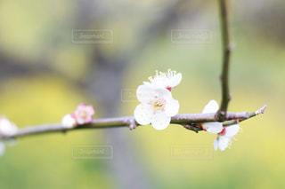 梅の花の写真・画像素材[2069203]