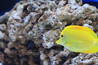 黄色のお魚さんの写真・画像素材[2070947]