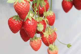 いっぱいの苺の写真・画像素材[2073811]