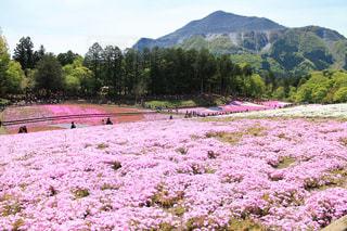 芝桜の写真・画像素材[2082263]