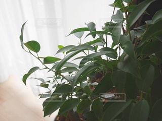 窓辺の観葉植物の写真・画像素材[2085991]
