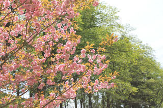 八重桜の写真・画像素材[2085992]