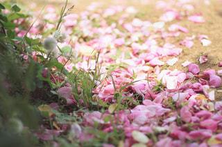 花びらのじゅうたんの写真・画像素材[2189533]