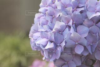 紫色の紫陽花の写真・画像素材[2210942]