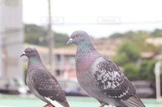 二羽の鳩の写真・画像素材[2229541]
