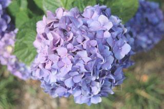 紫陽花の写真・画像素材[2229608]