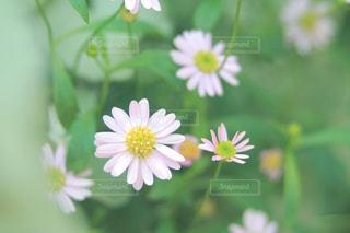 可憐な花の写真・画像素材[2328646]