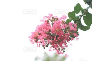 百日紅の花の写真・画像素材[2340811]