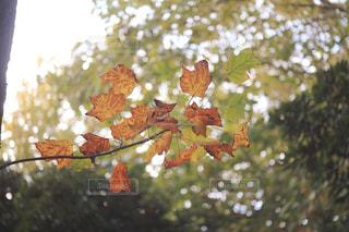 秋の葉っぱの写真・画像素材[2359484]