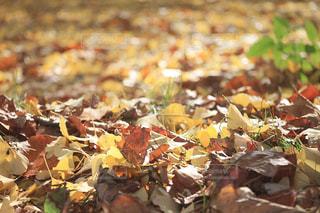 落ち葉の絨毯の写真・画像素材[2359485]