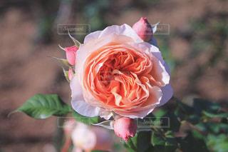 バラの花の写真・画像素材[2807162]