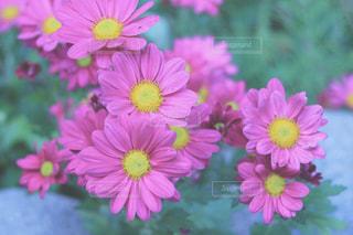 ピンクのお花の写真・画像素材[2991799]