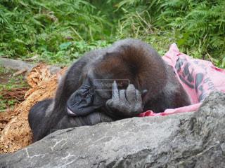 岩の上に寝ているゴリラの写真・画像素材[1904584]