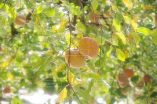 木の枝からぶら下がってりんごの写真・画像素材[1624900]