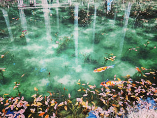 モネの池と鯉の写真・画像素材[1912681]