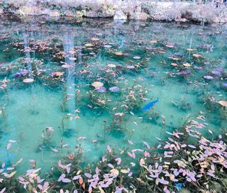 モネの池の写真・画像素材[1912687]
