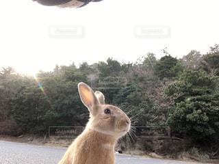 大久野島 野うさぎの写真・画像素材[1965604]