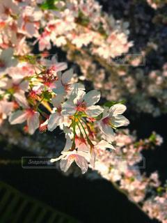 桜満開の写真・画像素材[1894713]