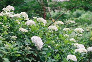 紫陽花の写真・画像素材[2307352]