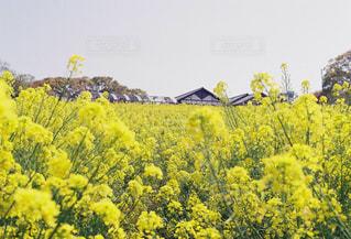 菜の花の写真・画像素材[2307356]