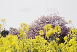 桜と菜の花の写真・画像素材[2307357]