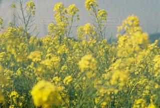 菜の花の写真・画像素材[2307358]