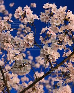 夜桜のアップの写真・画像素材[1890603]