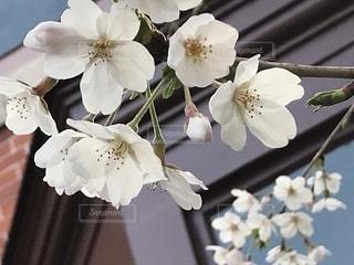 異人館の桜の写真・画像素材[1904722]