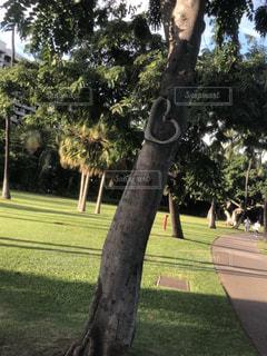 ハワイ ハートの木の写真・画像素材[1931047]