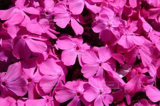 ピンクの写真・画像素材[2008010]