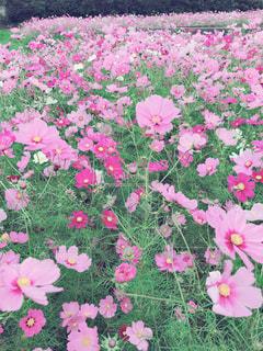 コスモス畑の写真・画像素材[2097596]