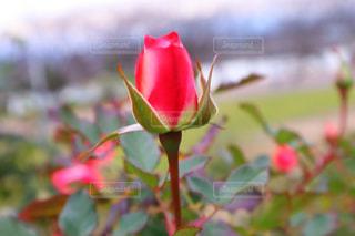 バラの蕾の写真・画像素材[2852580]